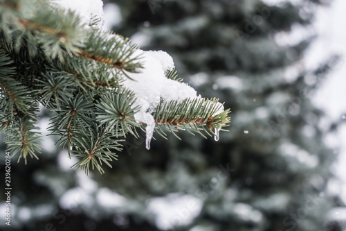 Ice on the spruce close up winter. - 239620284