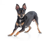 Playful black toy terrier dog front view