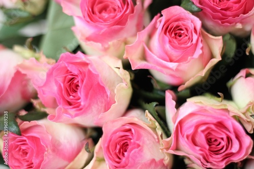 Pink and white roses. Beautiful macro close-up rose bouquet from Holland auction Alsmeer. - 239689238