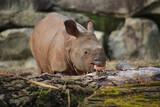 Panzernashorn (lat. Rhinoceros unicornis) oder Indisches Panzernashorn, Jungtier