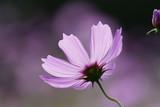 コスモス © garden