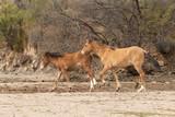 Wild Horses on the Salt River Arizona
