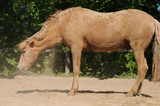 Horse shaking sand off