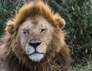 close up portrait of a lion with injuries