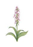 Pink orchis on white background.