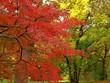 Leinwanddruck Bild - Roter Ahorn Baum im Herbst