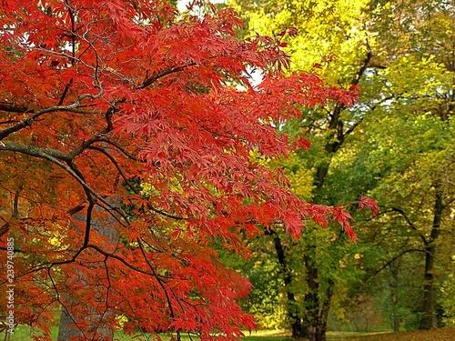 Leinwanddruck Bild Roter Ahorn Baum im Herbst