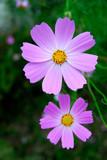 Pink flowers cosmos. © photo_HYANG