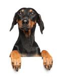 Cute German Pinscher puppy above banner