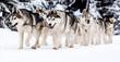 Leinwanddruck Bild - dog sled race with huskies