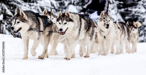 Leinwanddruck Bild dog sled race with huskies