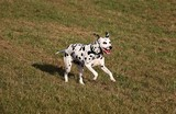 dalmatian dog is running in the garden