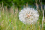 the big dandelion plant on the grass © andRiU