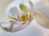 Macro of beautiful white phalaenopsis orchid flower head Phalaenopsis known as the Moth Orchid or Phal on the white background. Selective soft focus.
