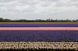 field of rows of purple tulips and pink tulips with blurred horizon