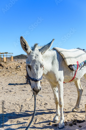 White donkey in a egyptian desert not far from Hurghada city
