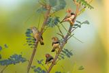 Flock of Zebra Finches perched in a bush