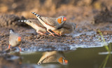 Zebra finches drinking with reflection © isonphoto