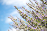 Fresh purple lavender blossoms in France, blue sky, post card