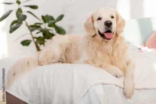 cute golden retriever dog lying on bed in bedroom