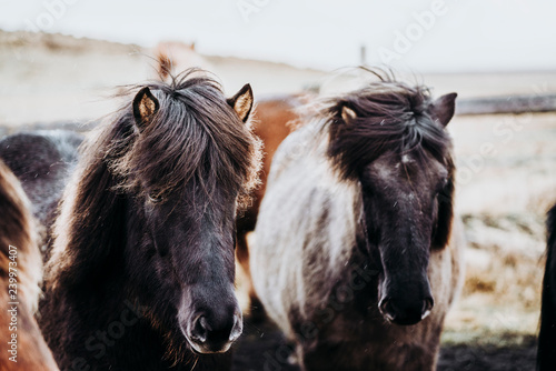 obraz lub plakat Beautiful grazing horses in Valley in Iceland