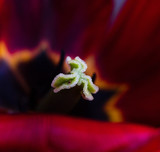 red blossoming tulip