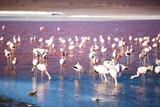 Flock of flamingos at the altiplano of Bolivia