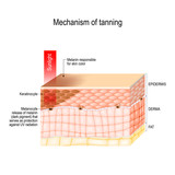 mechanism of tanning. skin pigmentation. Cross-section of the human skin. - 240015231