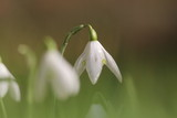 a beautiful white snowdrop macro with wet leaves and a dark background