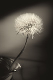 white dandelion in a vase, close-up, toning, sepia