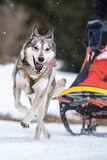 Sled dog competition