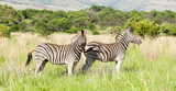 African Zebra on safari in a South African game reserve © Sunshine Seeds
