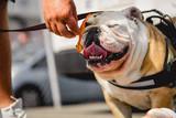 Bulldog and Bacon