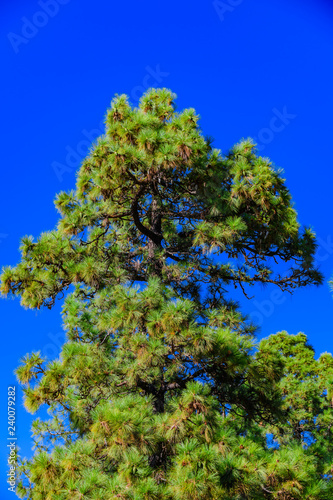 Leinwanddruck Bild Canary pines in Teide National Park. Tenerife. Canary Islands..Spain