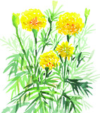 Marigold yellow flowers