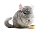 Сute furry chinchilla eating crunchy snack nutrition on white background