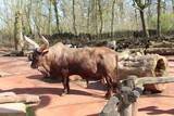Watussirind, Zoo
