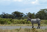 Zebras im Lake Nakuru Nationalpark in Kenia © hecke71