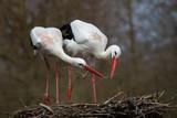 Weißstorchenpaar auf seinem Nest