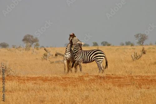 Two zebras fighting  - 240159457