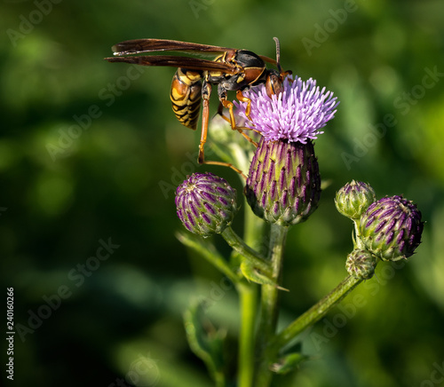 Purple flowering thistle with a hornet feeding - 240160266