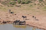 trinkende Zebras an einer Wasserstelle im Addo Nationalpark in Südafrika