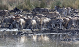 A herd of thirsty Zebras drink their fill