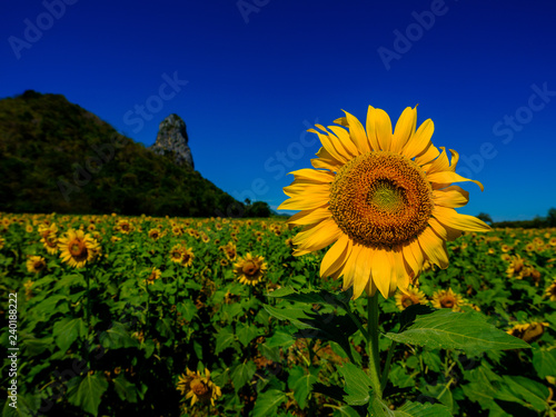 Sunflower with blues ky