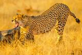 Elegant cheetah opens mouth showing teeth while walking in savannah. Acinonyx jubatus, family of felids, Madikwe, South Africa.
