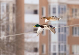 Ducks in flight over the city streets © schankz