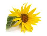 Sunflower flower with leaf.