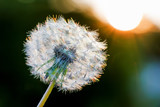 Dandelion with seeds on a dark background during the sunset_