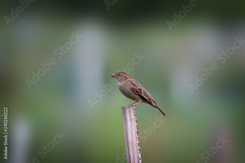 American tree sparrow bird on the post