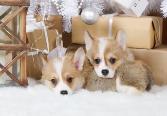 Two puppies Welsh Corgi Pembroke under the Christmas tree © Alexey Kuznetsov